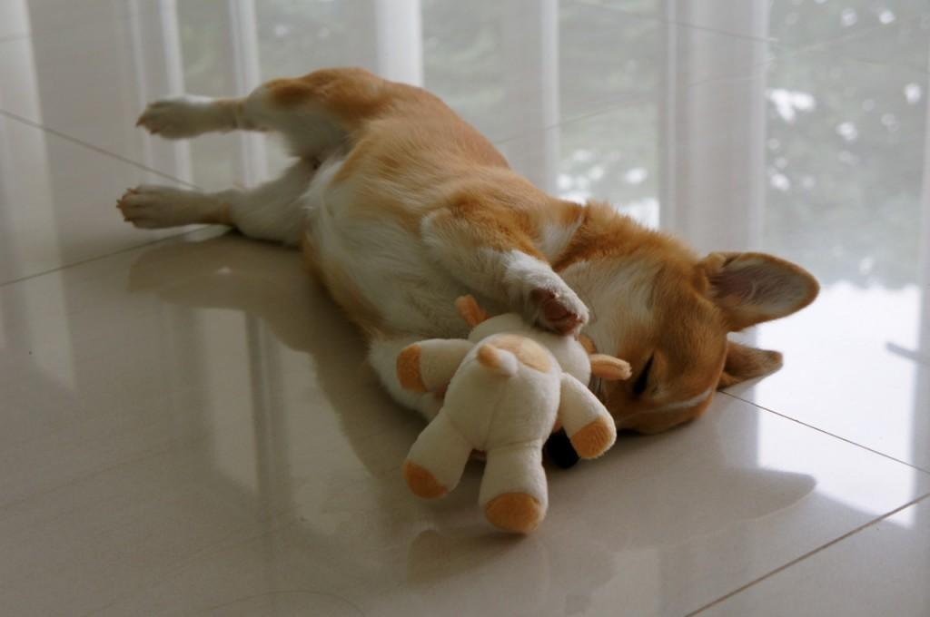Sleepy corgi and his bear plush