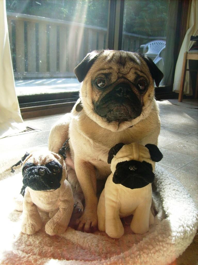 Pug family portrait