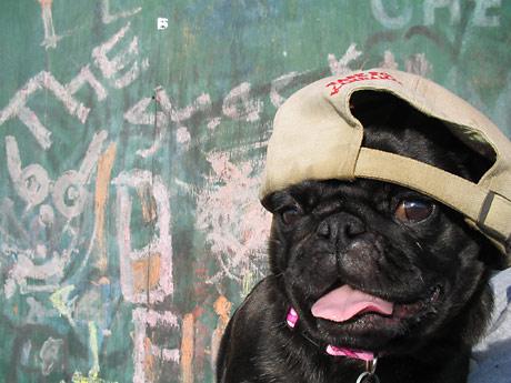 Pug dog in backwards baseball cap
