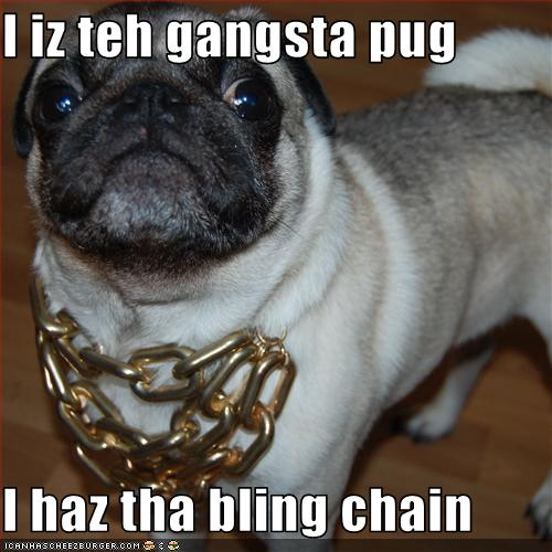 """Pug dog in a golden chain with the text """"i is the gangsta pug, i has the bling chain"""""""