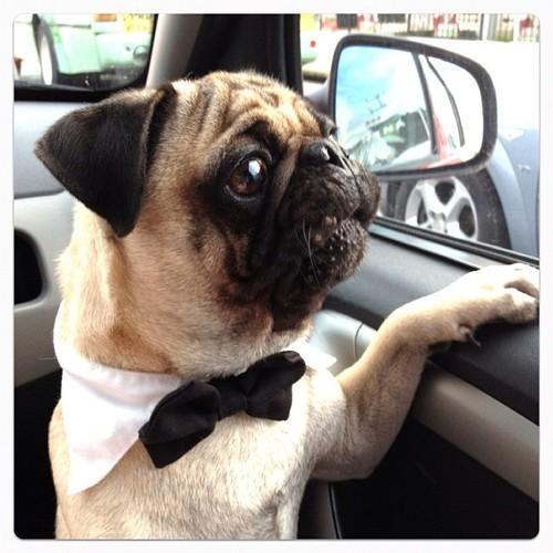 pug dog in formal wear looking out window