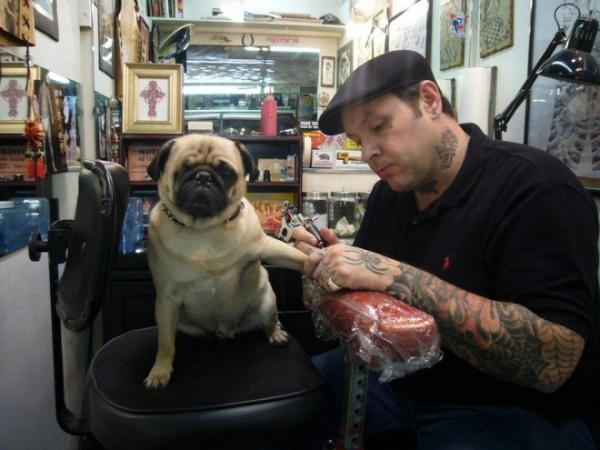 pug dog receiving a tattoo