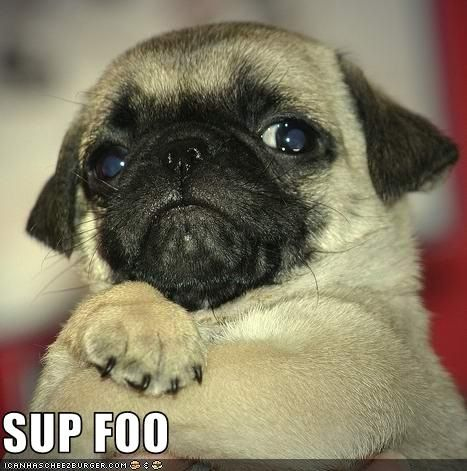 Pug dog crossing arms with the text 'sup foo'