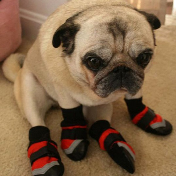 Pug With Slippers