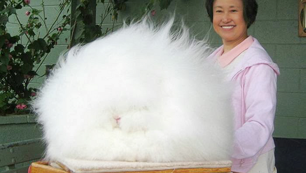 super fluffy bunny meet the worlds fluffiest rabbit
