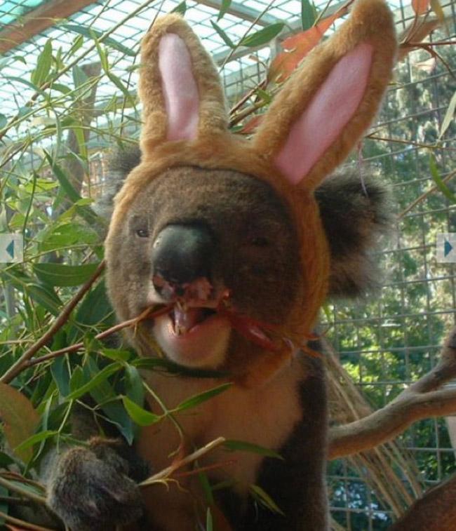 koala-wearing-bunny-ears
