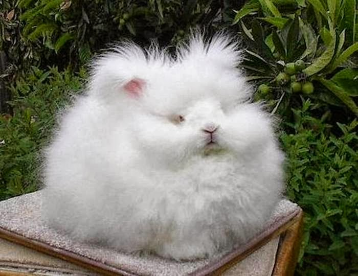 worlds-fluffiest-bunny-3