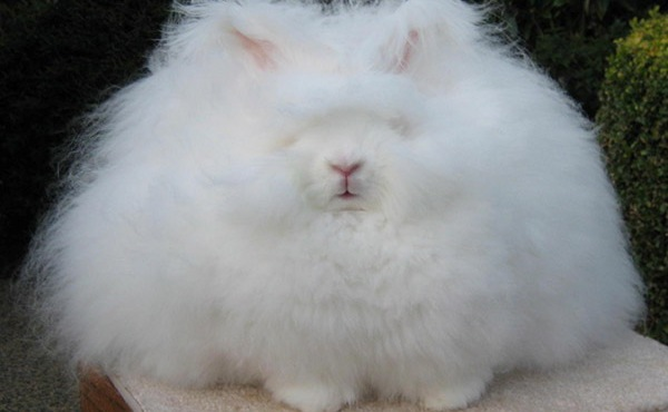 World's Fluffiest Rabbit