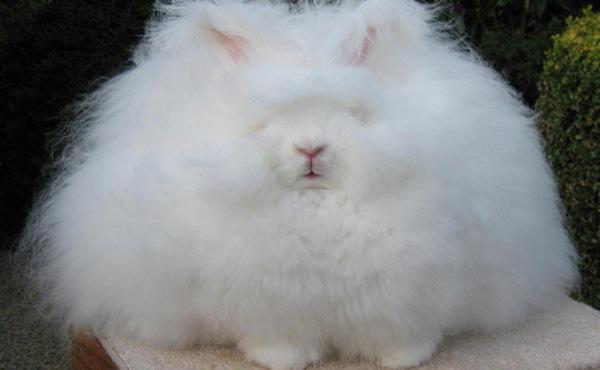 World's Fluffiest Rabbit