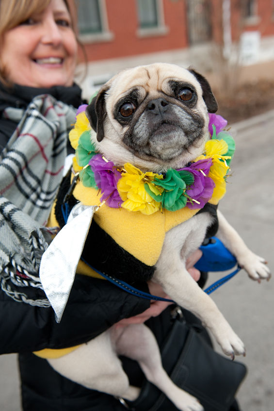 Costumed Pug Dog
