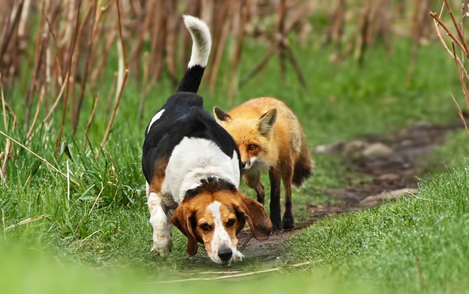 Funny Dog Fox