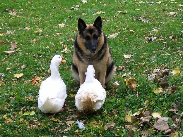 Geese Dog