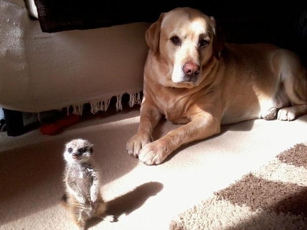 Meerkat dog