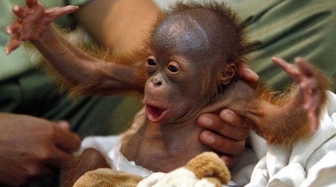 Hairy Monkey Baby