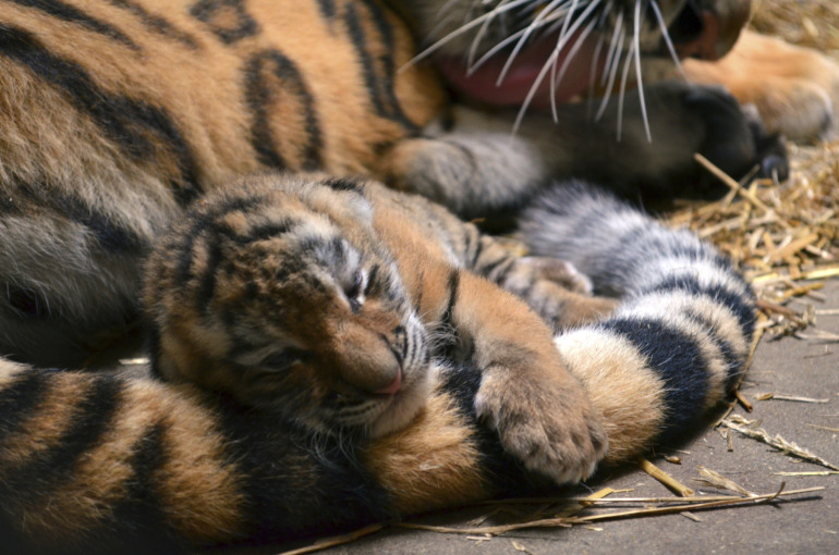 amur-tiger-cub