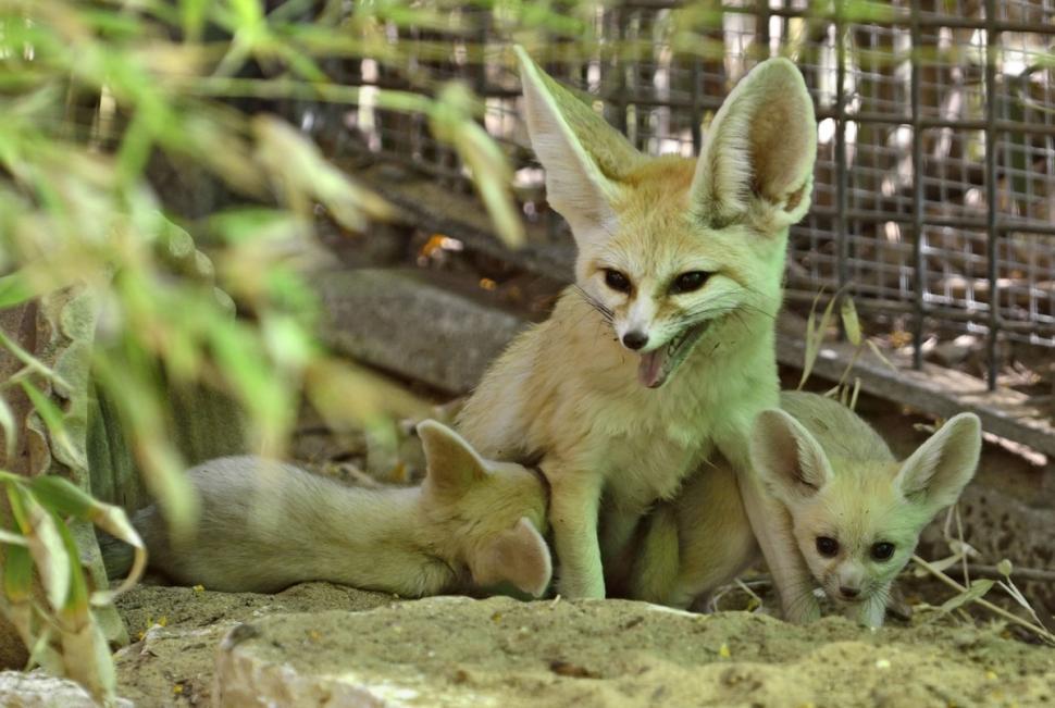 fennec-fox-kits