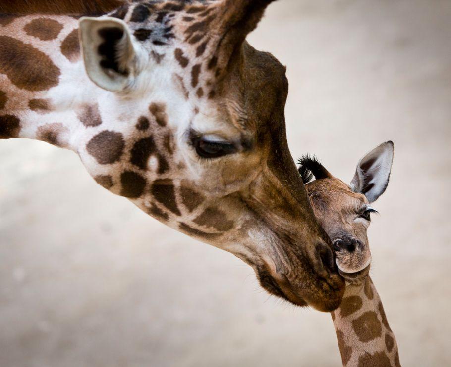 katja-giraffe
