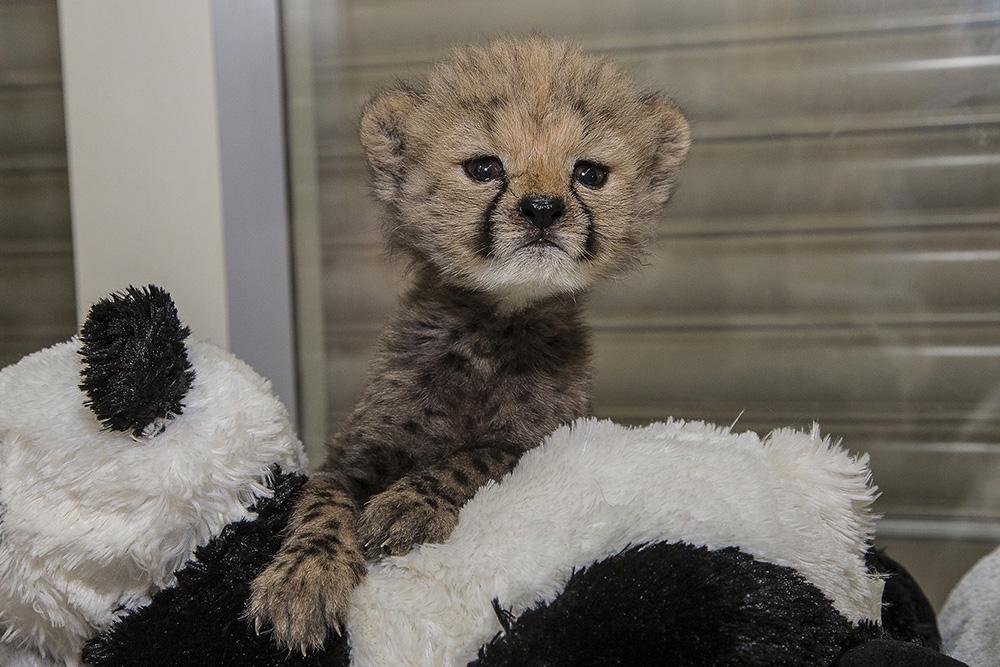 ruuxa-cheetah