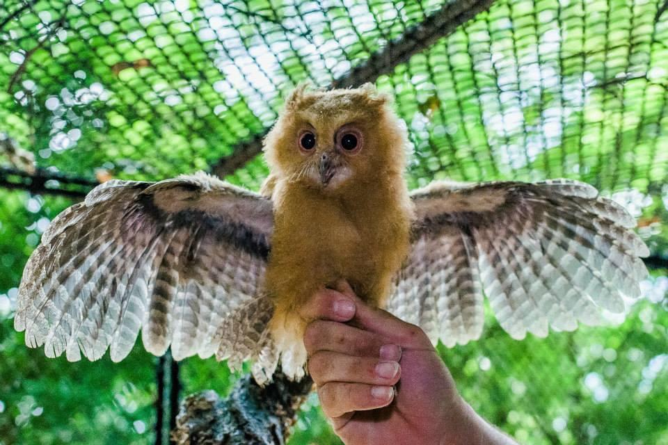 scops-owlet