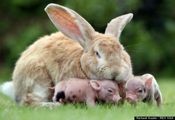 Rabbit and mini pig piglets at Pennywell Farm, Buckfastleigh, Devon, Britain - 22 Aug 2013
