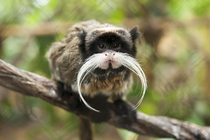 800px-Black-chinned_emperor_tamarin_(S._i._imperator)