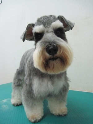 after_schnauzer_with_mohawk_cut_20101021_1058471815