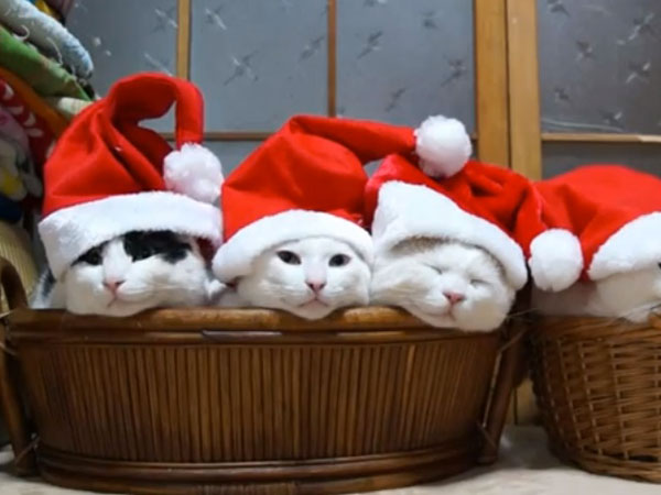 cats-sleeping-santa-hats-12262012-600x450