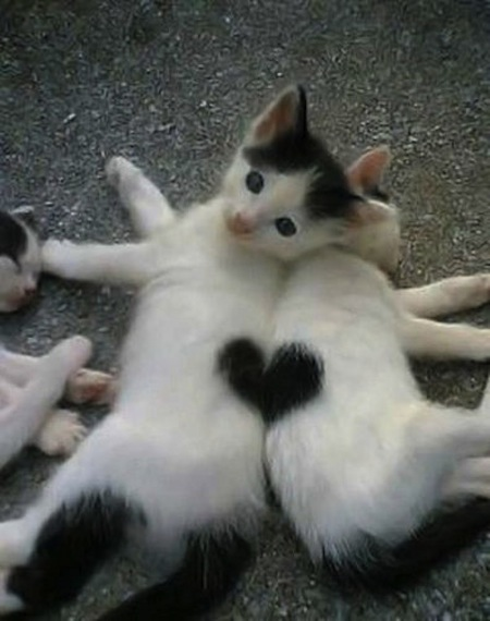 two valentines kittens are better than one - Valentines Animals