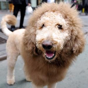 lion_dog-300x300