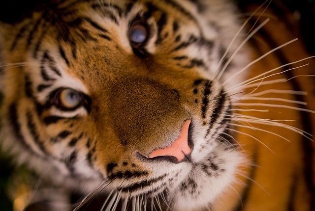 tiger-day