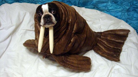 walruspug